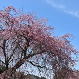 お花見! 番所の桜、立屋の桜・・・(小川村) ☆4月12日の撮影です