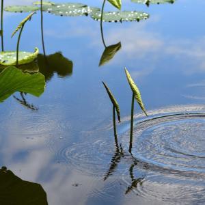 千曲市の「大雲寺自然探勝園」 蓮(ハス)・・・ ☆開花にはちょっと早かった。 6月29日