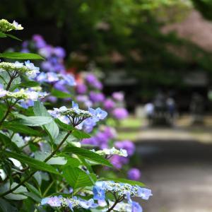智識寺・・・(千曲市) ☆紫陽花(アジサイ)は、ちょうど見ごろだったかも! 6月29日