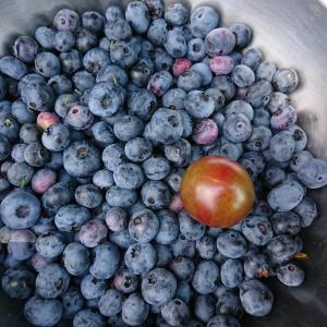 ブルーベリーの収穫は、先ず雑草取りから・・・ ☆実は、隠しブルーベリー園があります(笑) 7月22日