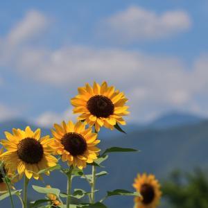 夏といえばヒマワリ(向日葵)!!・・・ ☆なんだけど、暑すぎて早々に撤収(笑)