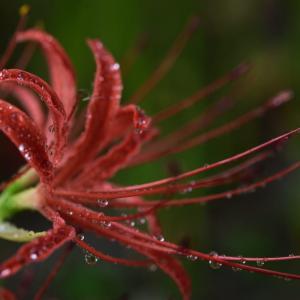 彼岸花(曼殊沙華)を撮るのはいろいろ悩ましい・・・ ☆いろんなところに咲いているのを見かけますが