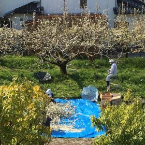 桜も梨も満開!