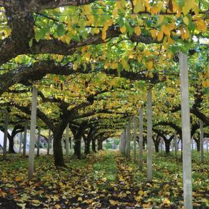 梨畑のトンネル