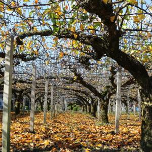 梨畑の落葉