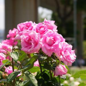 所長休日ぶらり~大阪都心のオアシス「中之島公園」美しいバラが咲きバラ園が見頃を迎えています。