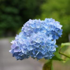 所長が休日に散策ぶらり~京都東山区「智積院」沢山の綺麗なあじさいが咲きます~