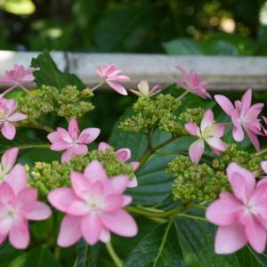 これだけの紫陽花の小道はない「梅宮大社神苑」花菖蒲、睡蓮が咲き誇り見事な競演そしてネコちゃん
