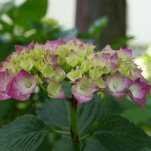 所長休日散策ぶらり~真如堂は、京都市左京区にあります、紫陽花園がある天台宗のお寺です。