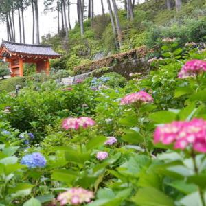 所長休日散策ぶらり~京都宇治市兎道「三室戸寺」アジサイの名所。今が見頃~咲き乱れ~~