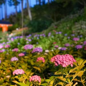 所長が休日に散策ぶらり~いよいよ三室戸寺のあじさい園ライトアップ行って来ました~幻想的最高です~