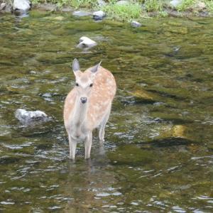 京都「鴨川」などで、野生のシカの目撃・・ニュースを見て・・所長散策ぶらり~画像撮って来ました~