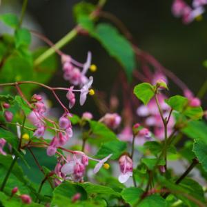 京都大原「実行院」お庭の四季の花々が綺麗 秋の草花「シュウカイドウ」「ヤブラン」「ガウラ」可愛い