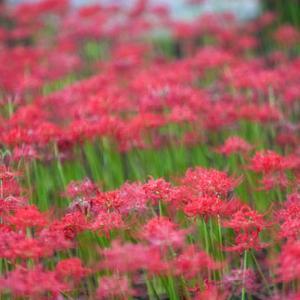 若宮八幡宮 彼岸花畑 八幡市民体育館の横にある小さな神社 まるで真っ赤な絨毯~