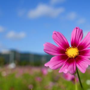亀岡『夢コスモス園』近畿随一のコスモス園 かわいいコスモスの花がいっぱい!