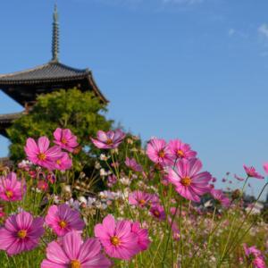 斑鳩の里「法起寺」三重塔を背景に、奈良らしい歴史と色とりどりのコスモスが楽しめる