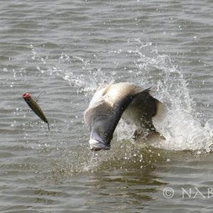 久しぶりに釣り!Team Yoidoreでバラマンディの養殖池