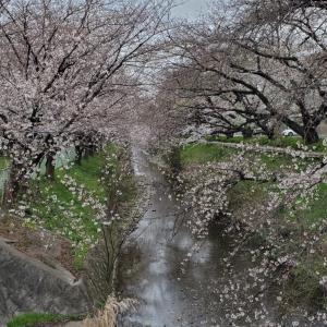 春弥生、桜満開の御用水跡街園を散策する