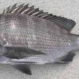 クロダイが釣れない😭チヌのフカセ釣りで釣れるまで実践した5つのこと‼️
