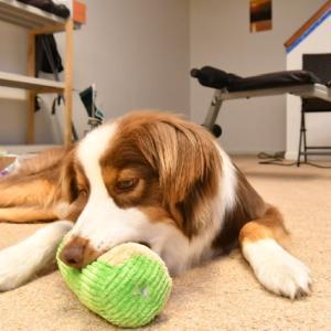 犬の表情を読む 心の中がバレバレのオーストラリアン・シェパード