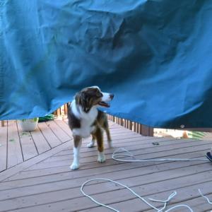 デッキにタープを張ったのに、飼い主の思惑通りにはいかないオーストラリアン・シェパード