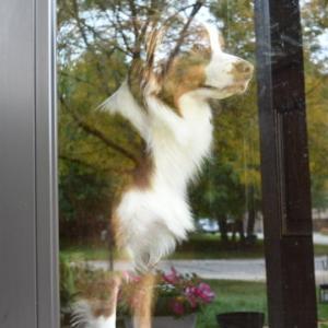 自宅警備に余念のない我が家の番犬 執念で見張りを続けています
