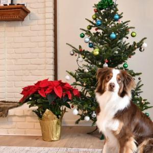 生木を使ってのクリスマスツリー 夢中で飾り付ける家族を横目に退屈そうなオーストラリアン・シェパード