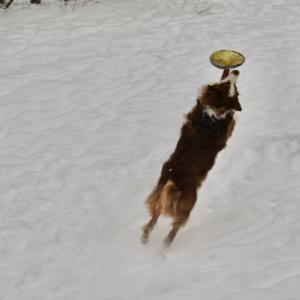 お散歩が雪と戯れる時間と化しています 運動不足の太ましい愛犬とフリスビーの日々