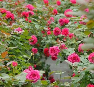 【NHK・あさイチ 】食べられるバラ!ジャムやスイーツと薔薇化粧品