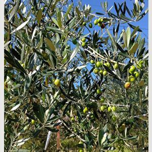 【あさイチ】今が旬のオリーブ!女性に人気の盆栽「オリーブ盆栽」育て方