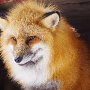 【車・趣味】早春の東北へ ~狐はコンコン、実際は?~