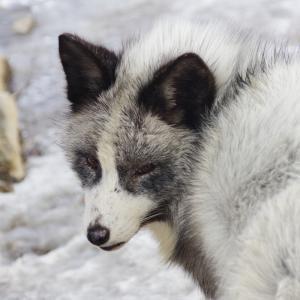 【車・趣味】早春の東北へ ~本能のまま生きる狐たちと、煩悩塗れのヒト~