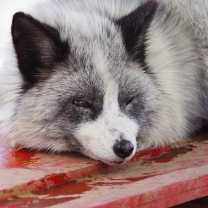 【車・趣味】早春の東北へ ~生に命を賭す、狐の神性~