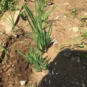 家庭菜園芽吹いてきました!