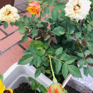 白い薔薇からオレンジの花!