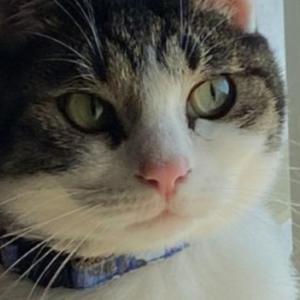 猫のぷくっとした可愛い口もと「ω」ヒゲ袋に隠された役割と重要性