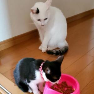 子猫が成猫のご飯を食べちゃった⁉年齢別に与えるご飯の違いとは