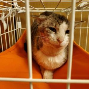 ケガをしたダブルキャリア猫。空を飛んで幸せを手に入れる