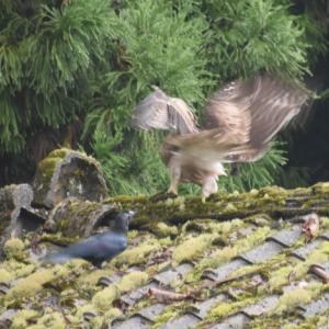 クマタカ幼鳥のカラス試練