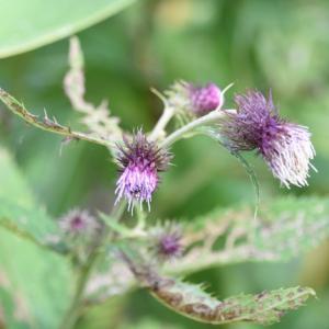 銀山平・秋の植物観察1