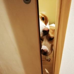 賢い犬はドアを開ける!?「開けられない」ドア対策のポイント