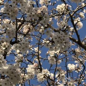 Cherry & Peach Blossoms