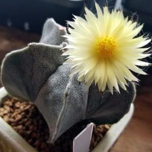 ランポー玉の花が咲く