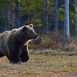 キャンプで熊に襲われる?出会ったら対処法は?遭遇しない為の対策も。