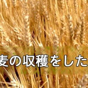 小麦の収穫をしたよ