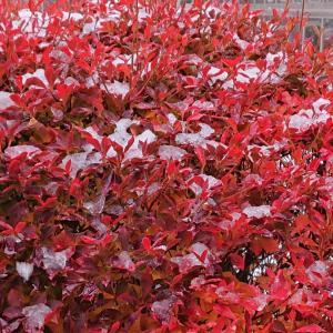 今年は、不思議に紅葉が残っています。