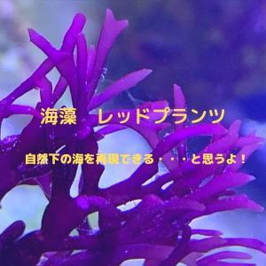 【海藻】レッドプランツを入れてみるという選択肢【サンゴ難しい人向け】