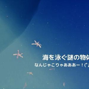 日間賀島の海で謎の物体。ウミシダが泳いでいる激レアな姿を目撃!