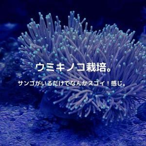 ウミキノコを飼ってみる。初心者でも挑戦しやすい丈夫なサンゴですよー