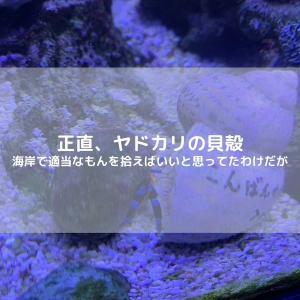 ヤドカリの貝殻を探したい場合、海行って拾っていいのかどうか?って話。